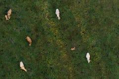 выгон коров Стоковые Фотографии RF