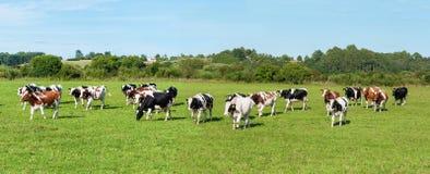 выгон молокозавода коровы Стоковая Фотография