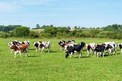 выгон молокозавода коровы Стоковые Фото