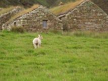 выгон овечки Стоковая Фотография RF