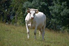 выгон скотин говядины cow белизна стоковая фотография rf