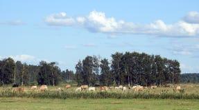 Выгон фермы коровы в луге Стоковая Фотография