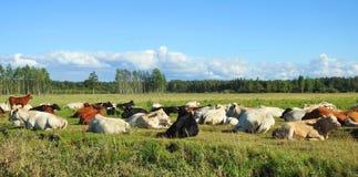 Выгон фермы коровы в луге Стоковое Фото