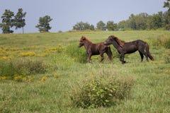 выгон icelandic лошадей Стоковые Изображения