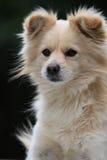выглядящий Величественн щенок Стоковая Фотография