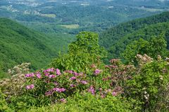 Выдающий взгляд лавра горы, рододендрона Catawba и Shenandoah Valley стоковые изображения rf
