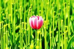 выдающий тюльпан Стоковая Фотография