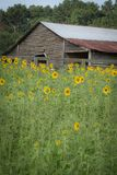 Выдержанный амбар между полем солнцецветов стоковое фото rf