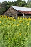 Выдержанный амбар между полем солнцецветов стоковая фотография rf