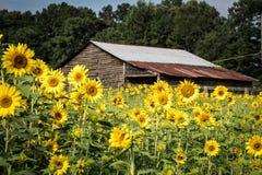 Выдержанный амбар между полем солнцецветов стоковые изображения rf