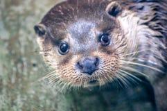 Выдра, плавая в реке на зоологическом парке и смотря что-то стоковое изображение