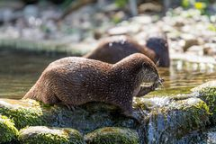 Выдры Брайна играя совместно на воде Стоковая Фотография RF