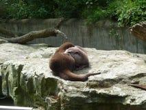 Выдры в реальном маштабе времени в зоопарке Стоковое Изображение RF