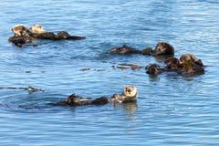 Выдры Калифорнии играя и купая в мелководьях Стоковая Фотография RF