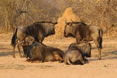 Вызванная группа в составе антилопы гну, гну, Южной Африкой стоковое изображение rf