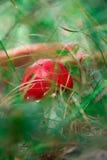 Вызванный крупный план гриба toadstool, muscaria Мухомора Стоковая Фотография RF