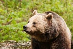 выйденная облицовка медведя Стоковые Изображения