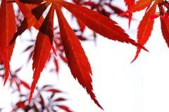 выйдите красный цвет клена Стоковая Фотография RF
