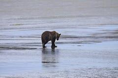 Выкапывать clam хавроньи бурого медведя Стоковая Фотография RF
