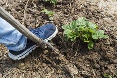 Выкапывая почва весны с вилой Стоковые Фото