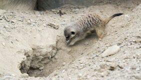 Выкапывая Meerkat стоковые фото