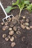 выкопано свеже вне засадите картошки стоковые изображения rf