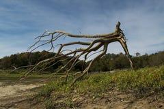 Выкорчеванное мертвое дерево на пляже Стоковые Фотографии RF