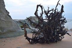 Выкорчеванное упаденное дерево со скалой известняка на песчаном пляже - Sitapur, острове Нейл, Андаманских островах, Индии стоковая фотография