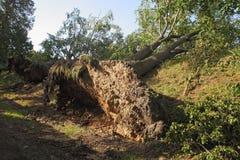 Выкорчеванные деревья стоковые фотографии rf