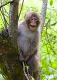 Выкрикивать обезьяны Стоковые Фотографии RF