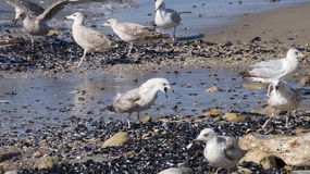Выкрики чайки Стоковое Изображение RF