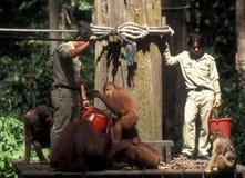 Вымирающие виды в Борнео: Подавать Orang Utan на Sepilok Стоковая Фотография RF