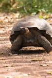 Вымирающие виды гигантской черепахи идя медленно стоковая фотография rf
