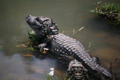 вымирающие виды китайца аллигатора стоковые изображения
