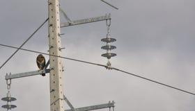 Вымощенный орел Стоковое Изображение RF