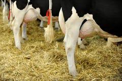 Вымя молочной коровы Гольштейна Стоковая Фотография
