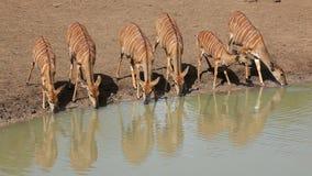 Выпивать антилоп Nyala сток-видео