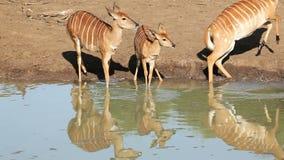 Выпивать антилоп Nyala видеоматериал