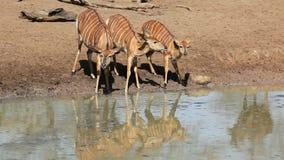 Выпивать антилоп Nyala акции видеоматериалы