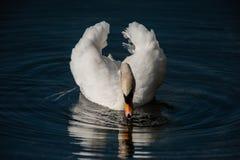 Выпивать безгласного лебедя Стоковые Изображения