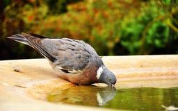 Выпивать голубя Стоковые Фото