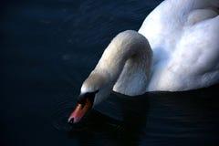 Выпивать лебедя стоковая фотография