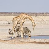 Выпивать жирафа и зебры Стоковые Изображения RF