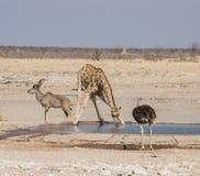 Выпивать жирафа Стоковые Фото