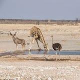 Выпивать жирафа Стоковое фото RF