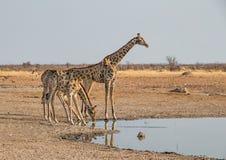 Выпивать жирафа Стоковая Фотография RF