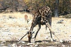 Выпивать жирафа Стоковое Фото