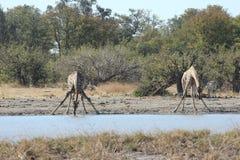 Выпивать жирафа Стоковое Изображение RF