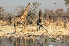 Выпивать 2 жирафов Стоковое фото RF