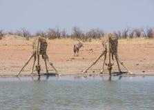 Выпивать жирафов Стоковая Фотография RF